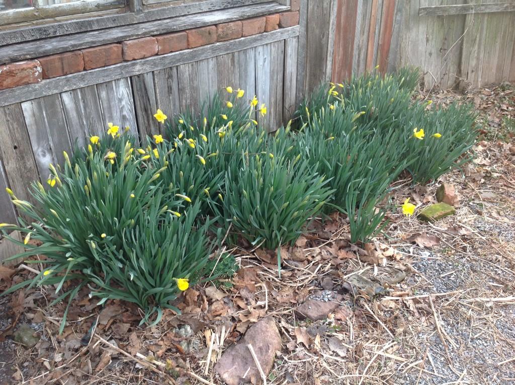 Daffodils-Easter-20134[1]