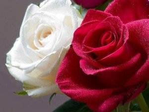 white-and-red-rose[1]