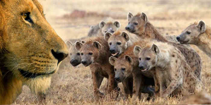 lion vs hyenas